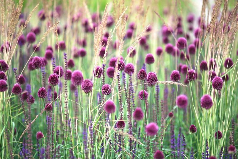 Фиолетовые лукабатун и травы стоковое фото