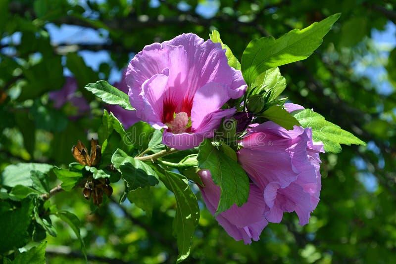 Фиолетовые цветки гибискуса стоковые фото