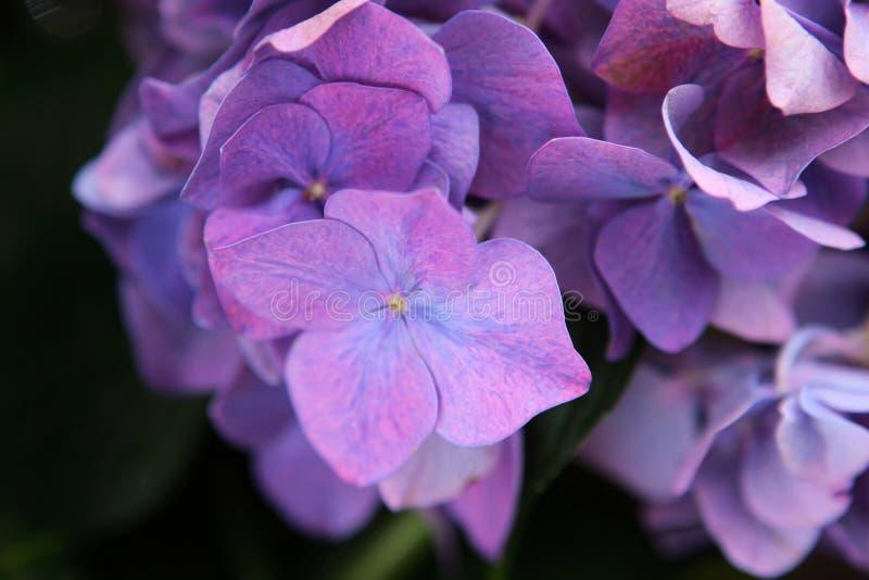 Фиолетовые цветки гортензии - близкое поднимающее вверх стоковое изображение