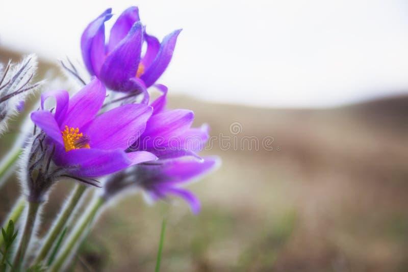 Download Фиолетовые цветки, мечт трава Стоковое Изображение - изображение насчитывающей промахов, лепестки: 40584109