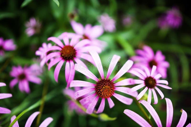 Фиолетовые цветки мозоли в саде стоковые фотографии rf