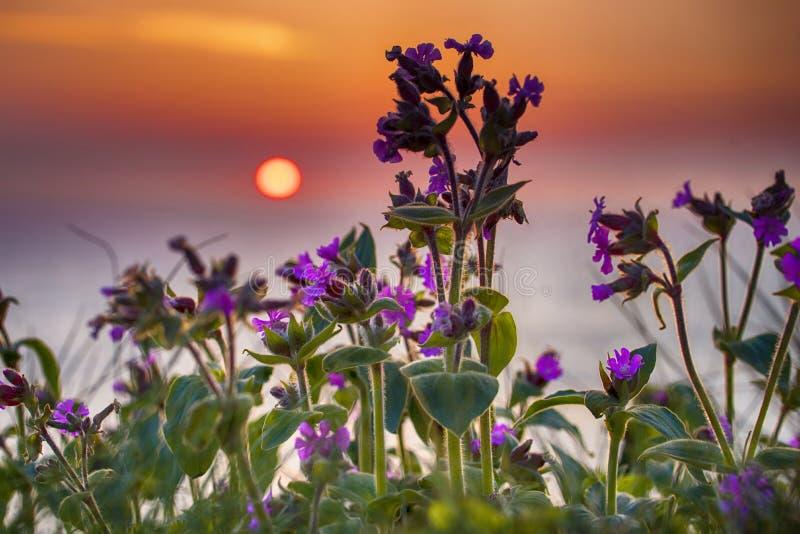 Фиолетовые цветки на восходе солнца стоковые фотографии rf