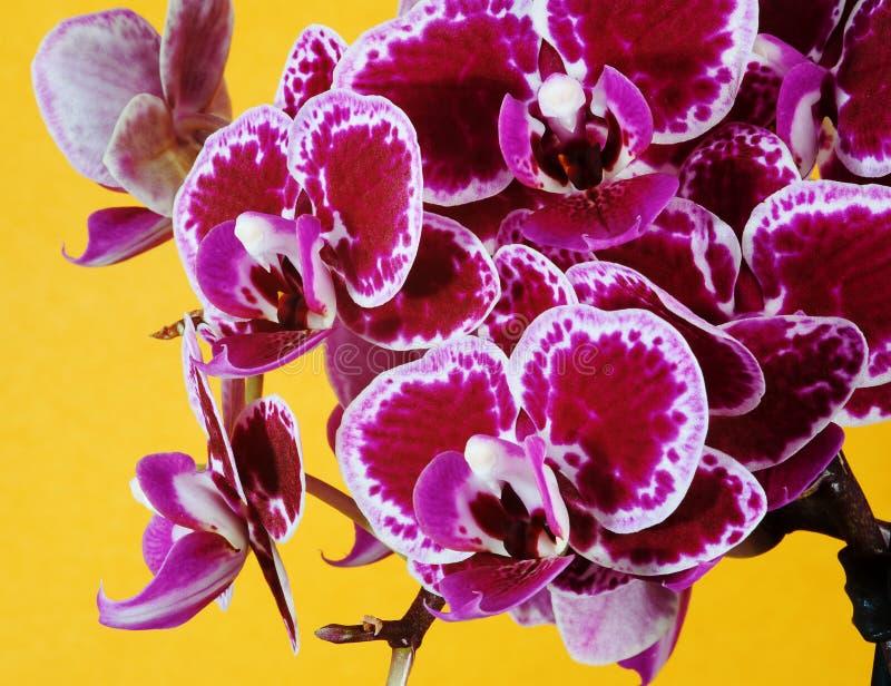 Фиолетовые цветки орхидеи на оранжевой предпосылке стоковое фото rf
