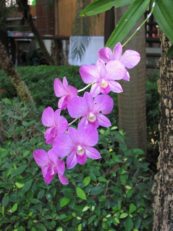 Фиолетовые цветки орхидеи dendrobium стоковое изображение