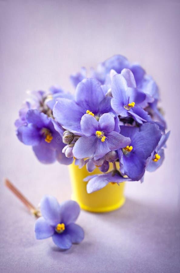 фиолетовые цветки (узамбарская фиалка) стоковые изображения rf
