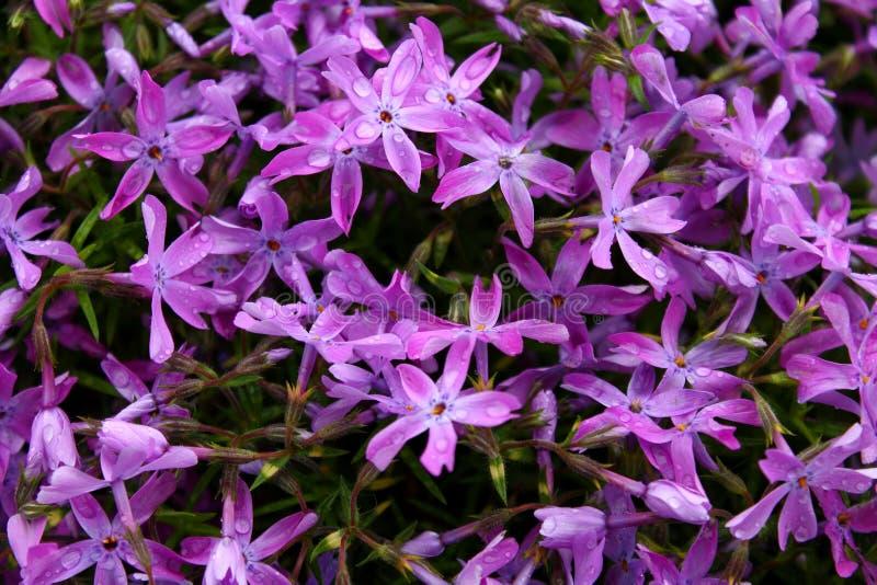 Фиолетовые цветки стоковые фотографии rf