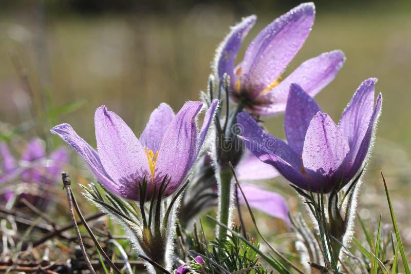 Фиолетовые цветки pasque в весеннем времени стоковое фото rf
