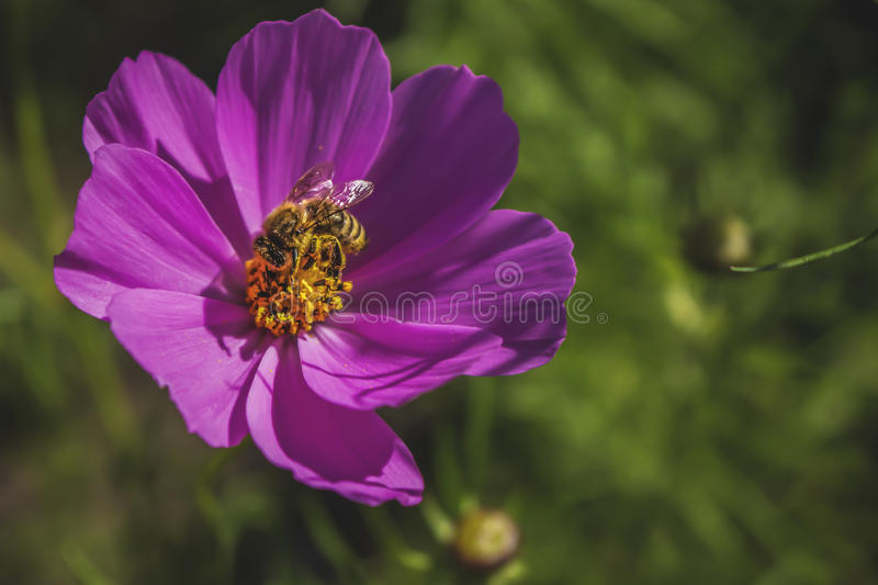 Фиолетовые цветок и пчела стоковое фото