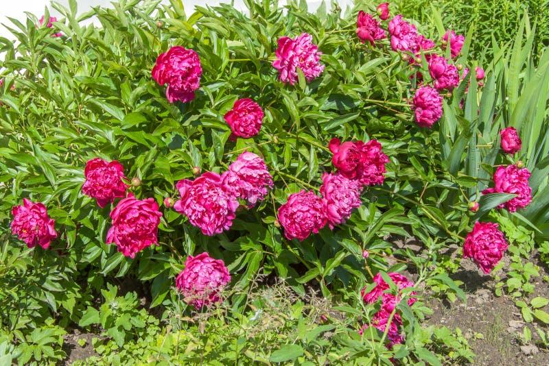 Фиолетовые цветя пионы куста стоковое изображение