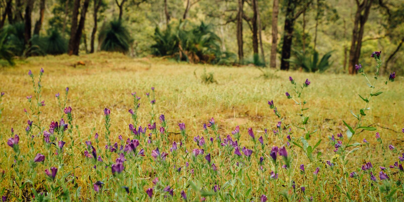 Фиолетовые Wildflowers вдоль тропы Numbat, Gidgegannup, западной Австралии, Австралии стоковое изображение rf