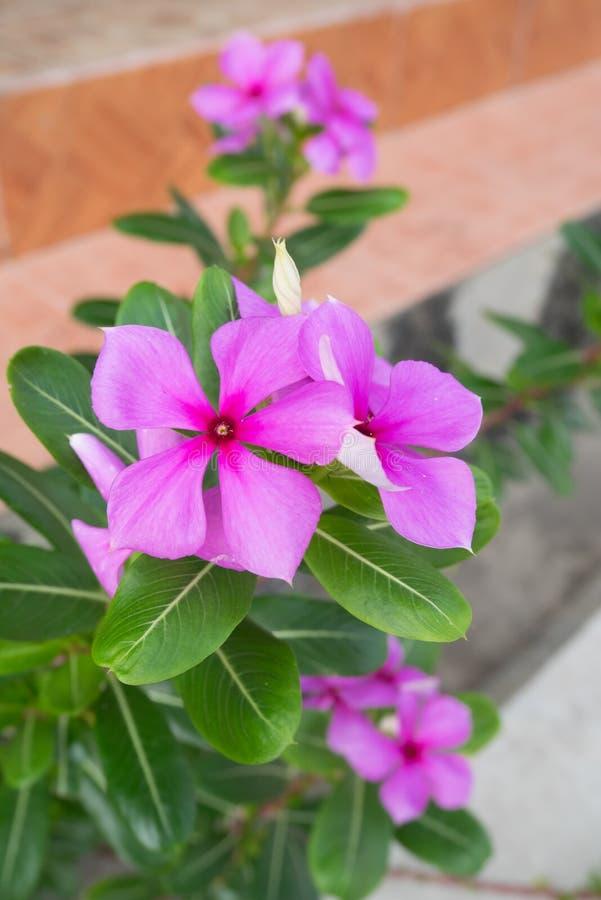 Фиолетовый барвинок Roseus цветет в мостоваой сада стоковая фотография