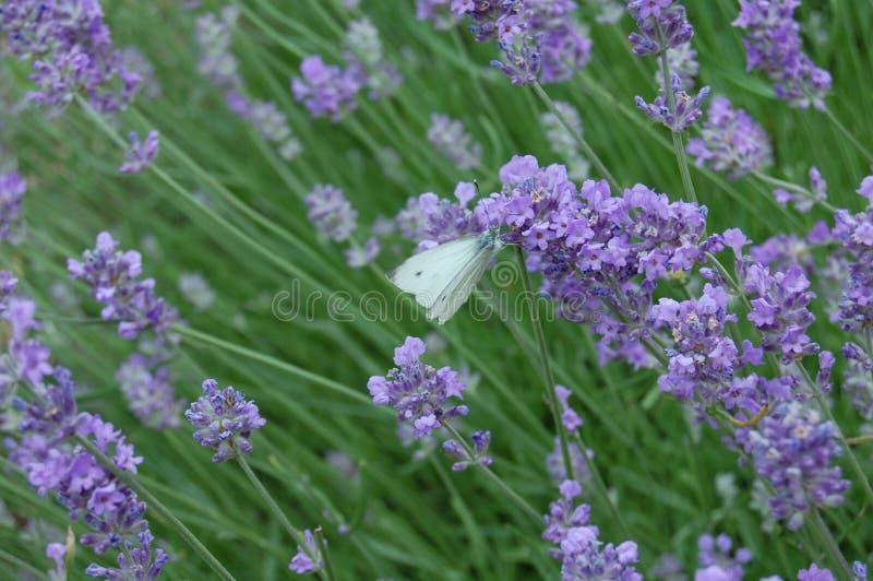 Фиолетовый ветер и белый полет 3 стоковая фотография