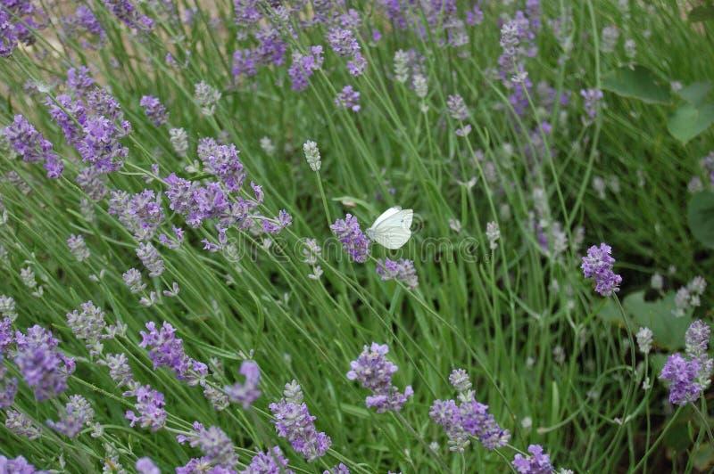 Фиолетовый ветер и белый полет 4 стоковая фотография rf