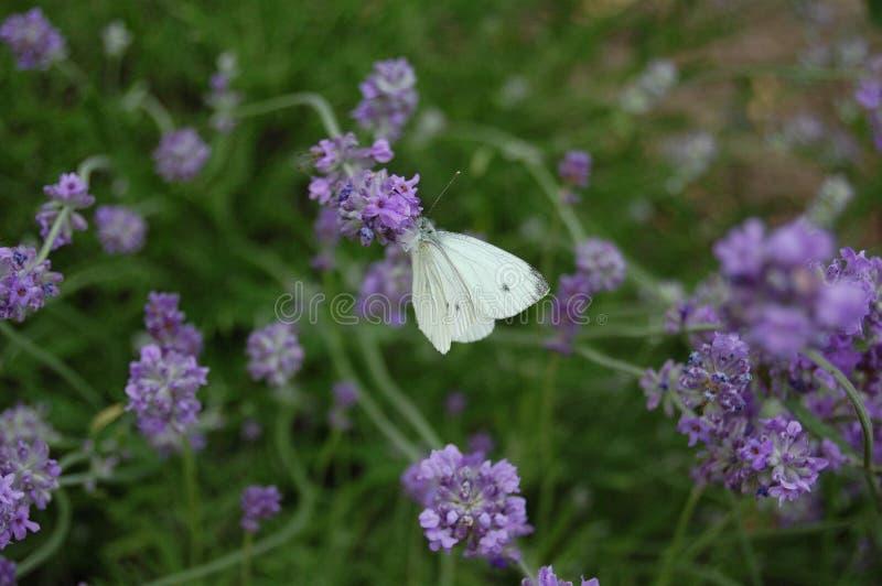 Фиолетовый ветер и белый полет 2 стоковые фотографии rf