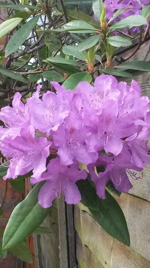 Фиолетовый гераниум стоковое изображение