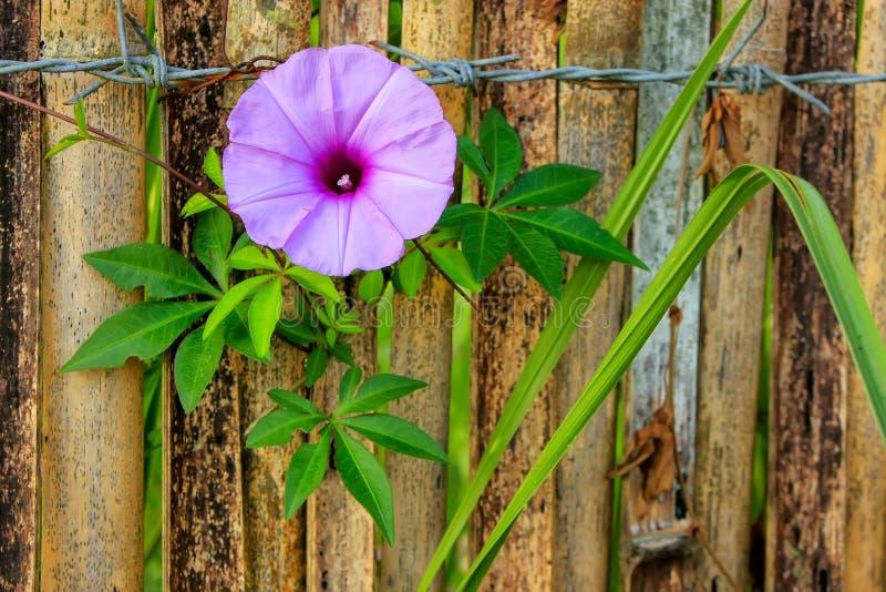 Фиолетовый завод плюща славы утра стоковые изображения