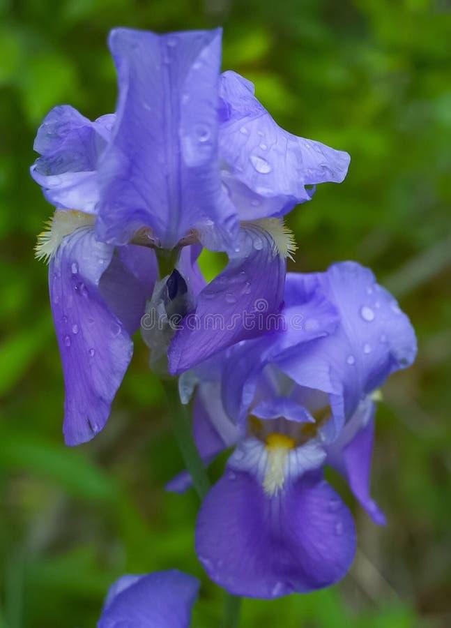 Фиолетовый зацветать радужек капелек дождевой воды стоковое фото
