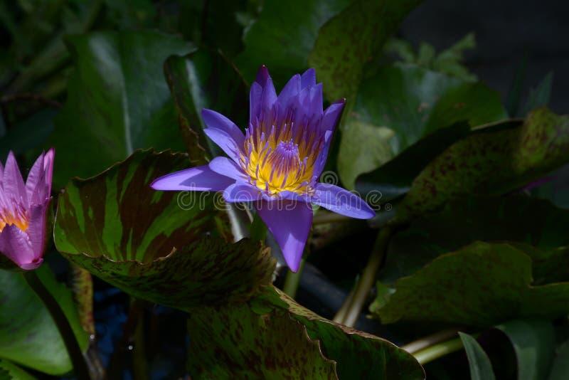 Фиолетовый зацветая лотос стоковые изображения