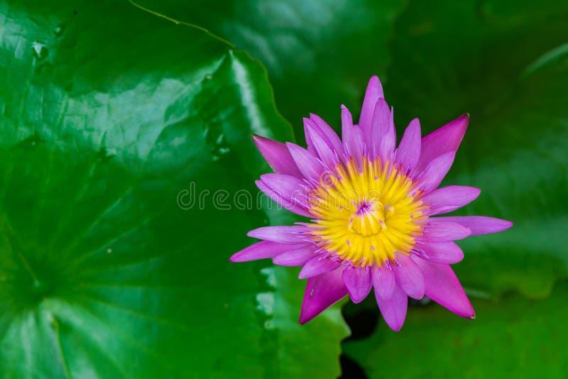 Фиолетовый и желтый цветок лотоса Предпосылка лист лотоса стоковое фото rf