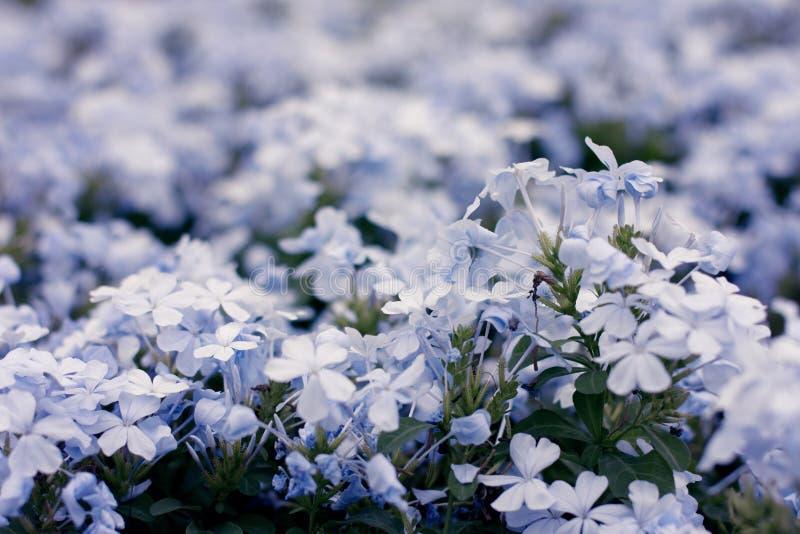 Фиолетовый кустарник цветка стоковые фотографии rf