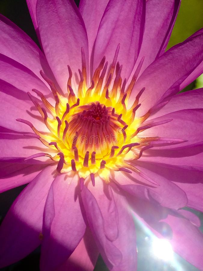 Фиолетовый лотос в цветени стоковая фотография