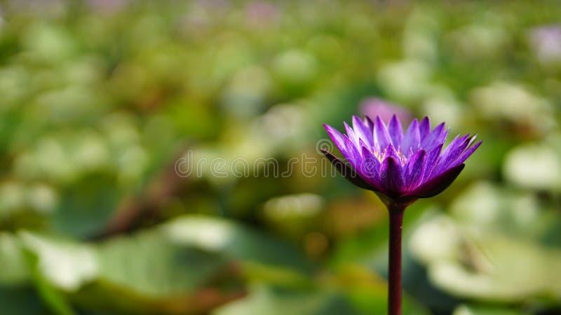 Фиолетовый лотос, фиолетовая лилия воды в саде стоковое фото