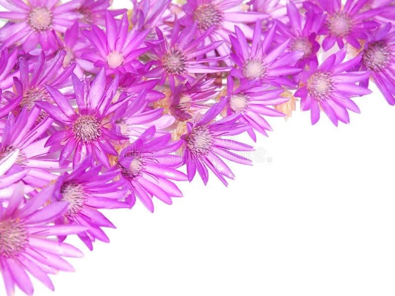 Фиолетовый розовый угол цветков, вековечный, Immortelle стоковые изображения
