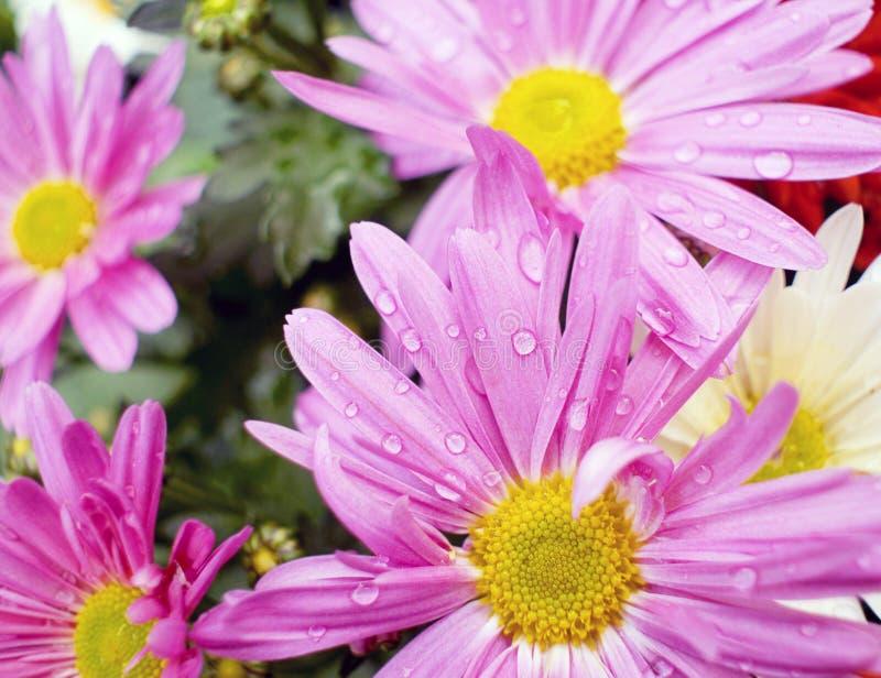 Фиолетовый стоцвет с росой стоковые фотографии rf