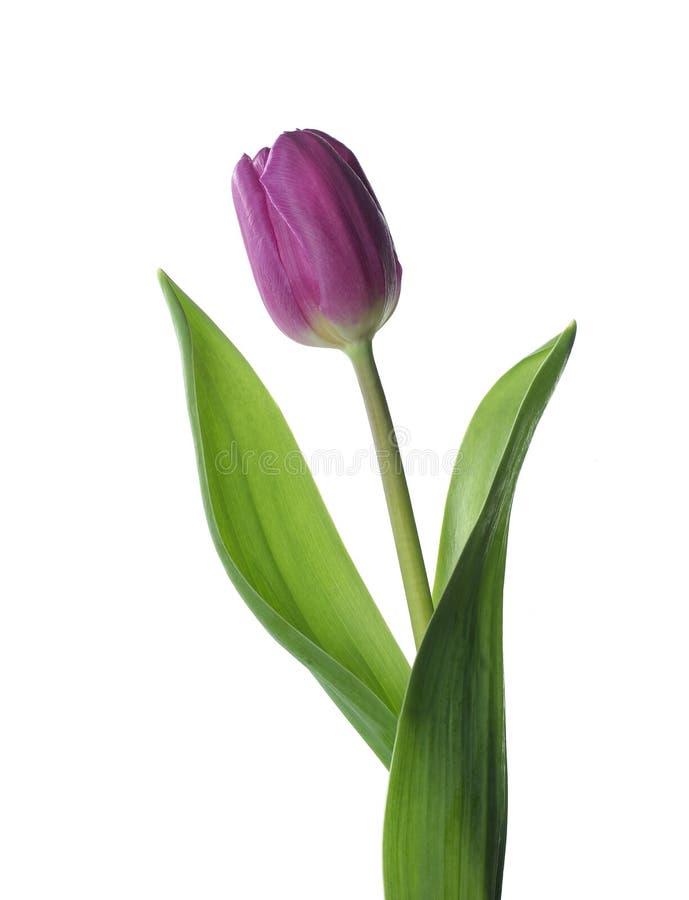 Фиолетовый тюльпан стоковое фото rf