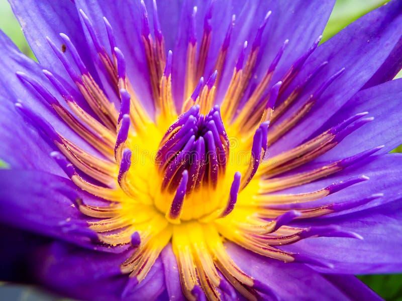 Фиолетовый цветень Lilly воды лотоса стоковая фотография rf