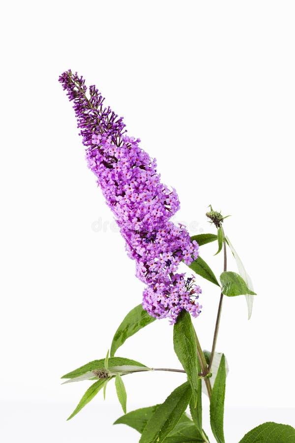Фиолетовый цветок куста бабочки против белого конца предпосылки вверх стоковые изображения rf
