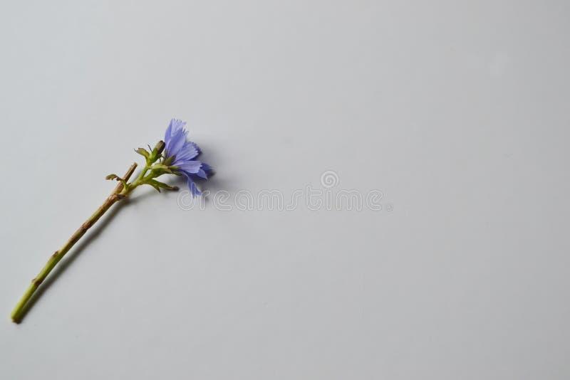 Фиолетовый цветок на белизне стоковые изображения rf