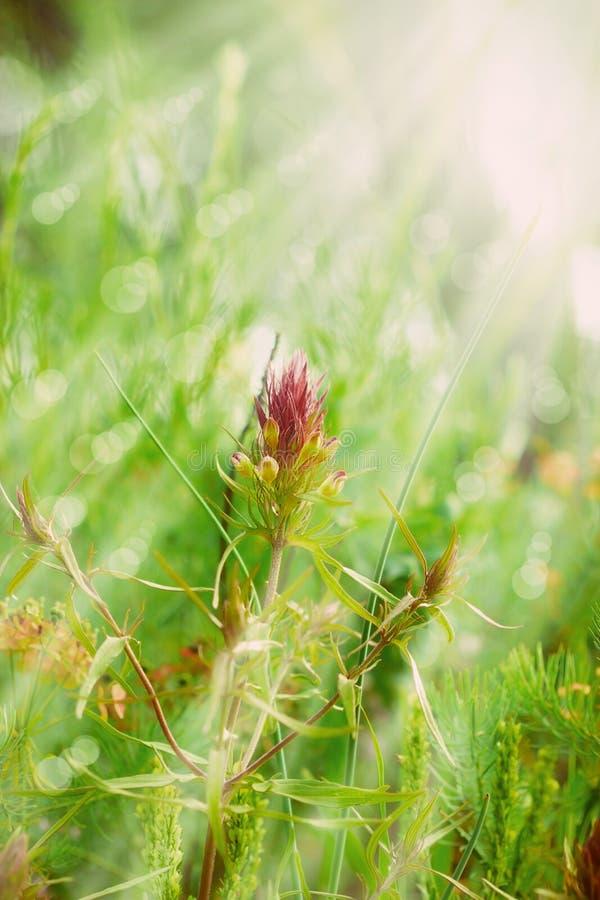 Фиолетовый цветок освещенный лучами стоковые фото