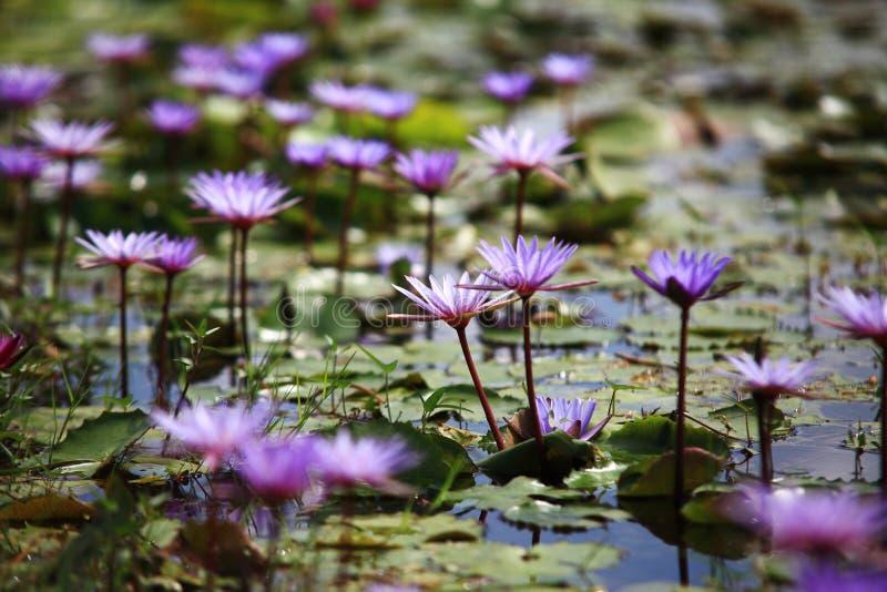 Фиолетовый цветок лотоса на воде стоковое фото