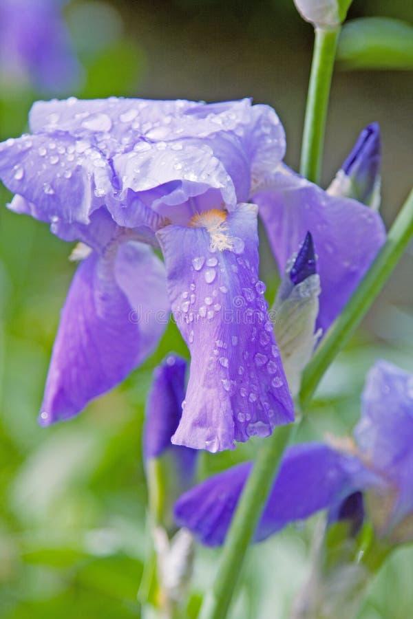 Фиолетовый цветок предусматриванный в росе стоковое фото rf