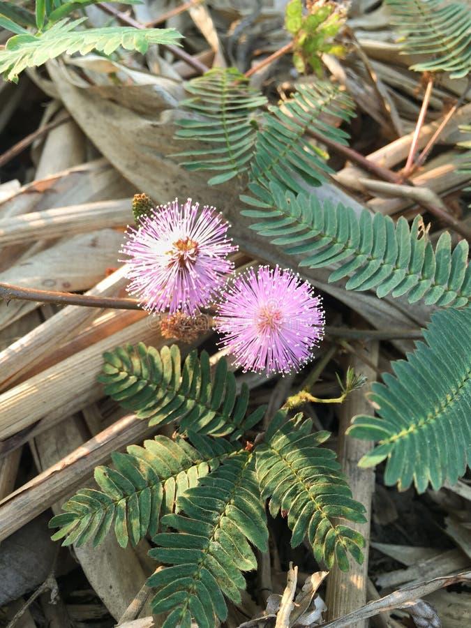Фиолетовый цветок pudica мимозы стоковая фотография rf