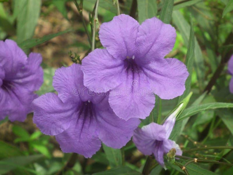 Фиолетовый flowersbeautiful цветок стоковые изображения rf
