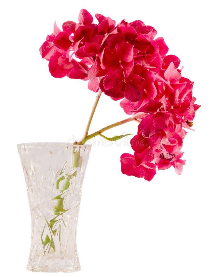 Фиолетовый hortensia, цветок в прозрачной вазе, конец гортензии вверх, изолировал белую предпосылку стоковые изображения rf