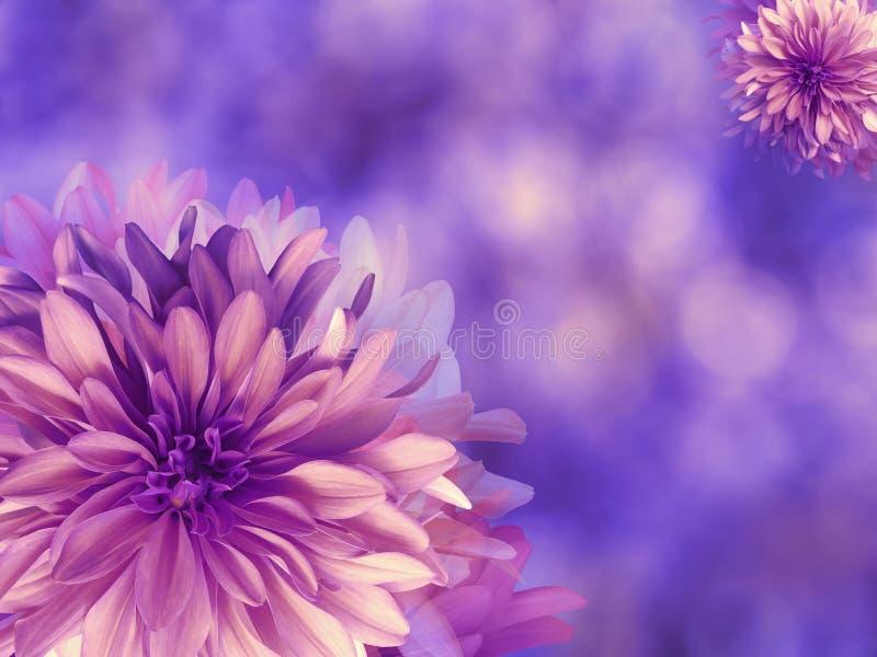 Фиолетов-розовые цветки осени, на сине-фиолетовой запачканной предпосылке closeup Яркий флористический состав, карточка на праздн иллюстрация вектора
