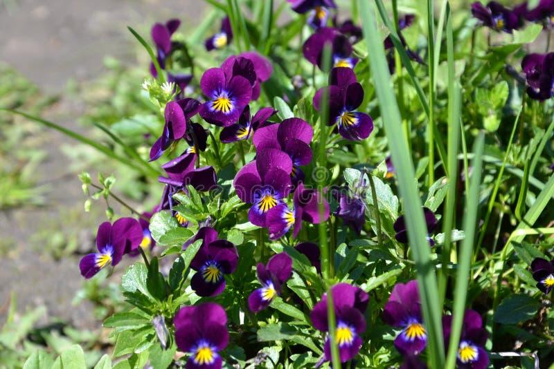 фиолеты стоковое фото