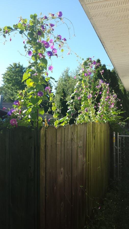 фиолет утра славы цветка цвета предпосылки естественный стоковые фотографии rf