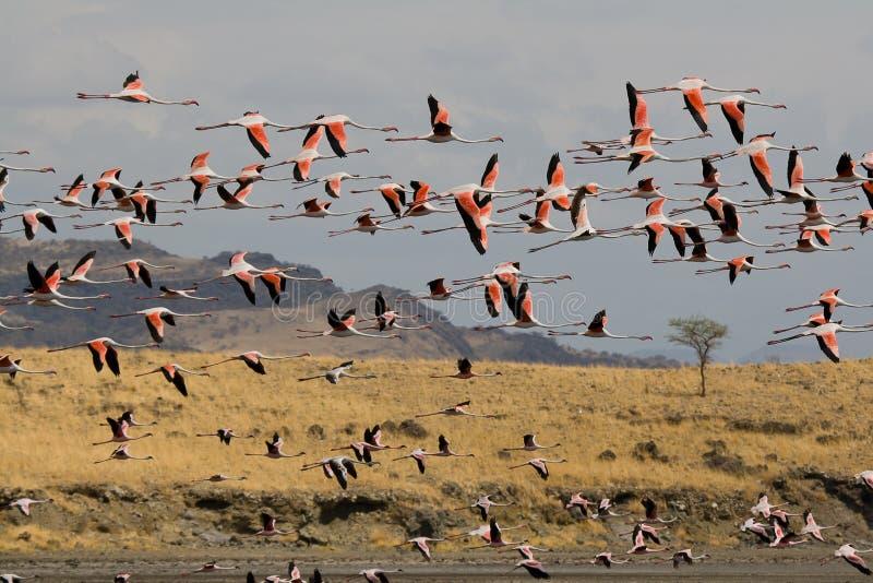 Фламингоы летая на озеро Natron в Танзании стоковое фото