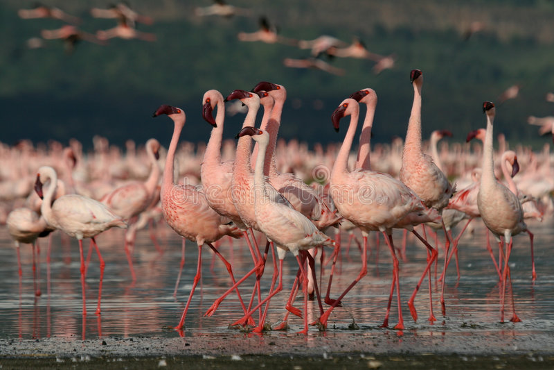 фламингоы меньшие стоковые фотографии rf