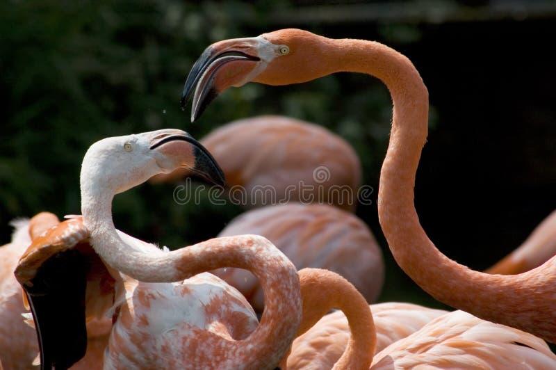 фламингоы стоковые изображения rf