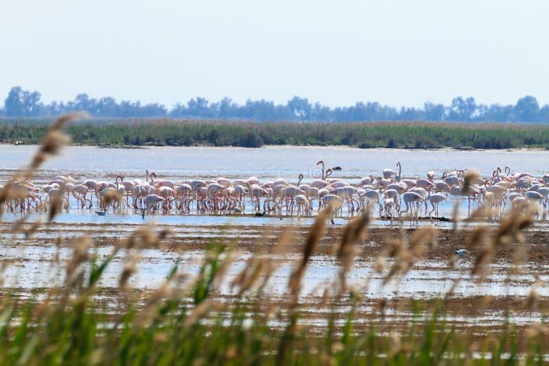 фламингоы flock пинк Лагуна Рекы По стоковые изображения