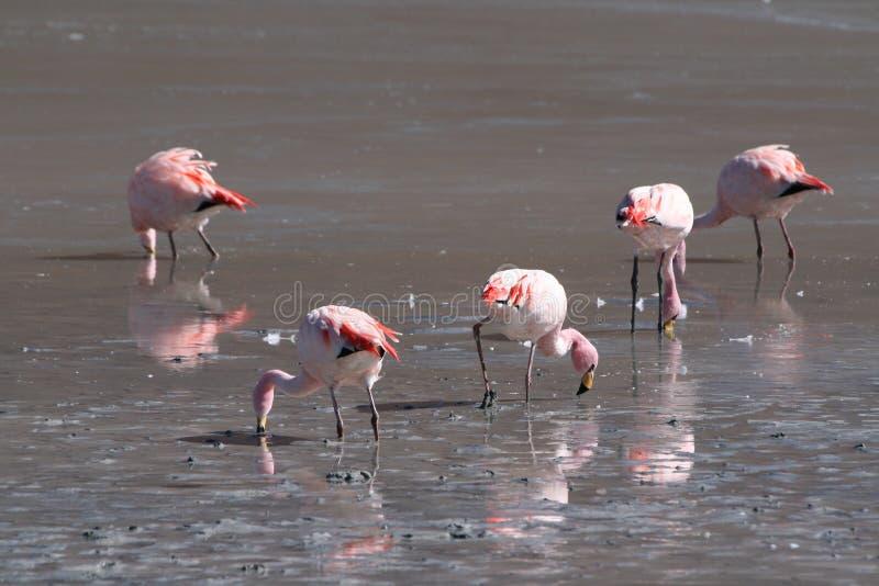 Фламинго в боливийце Altiplano, Blanca Laguna стоковое фото