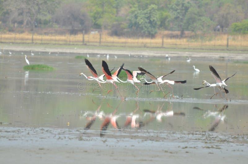 Фламинго в Бхопале стоковое фото