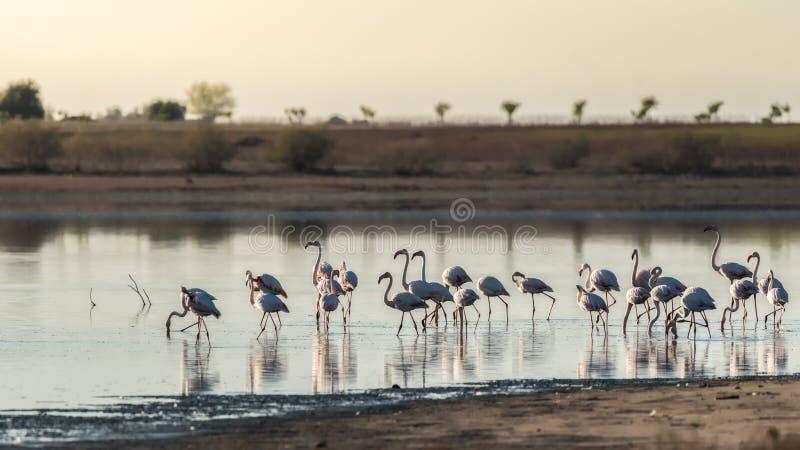 Фламинго в лагуне соленой воды на зоре стоковое изображение rf