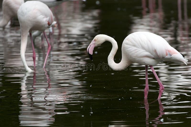 Фламинго в озере стоковое изображение rf