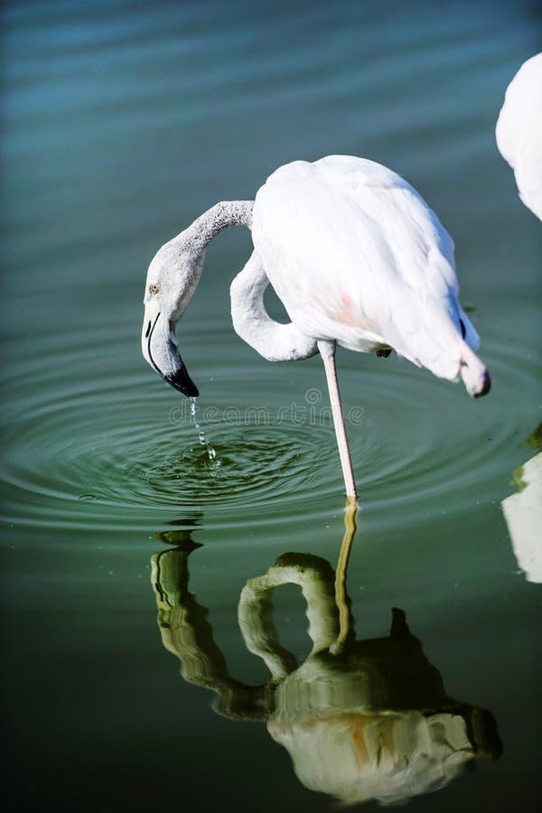 Фламинго в озере стоковые фотографии rf
